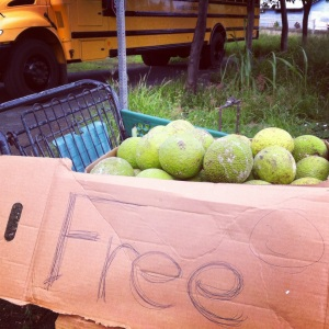 This is what free breadfruit looks like