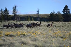 Cow elk making a dash across the field.
